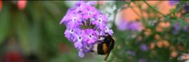 bee on verbena